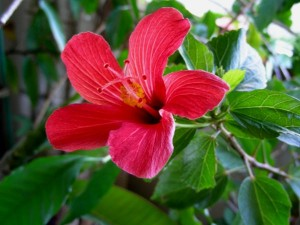 Beautiful flowering small tree, Hibiscus boryanus