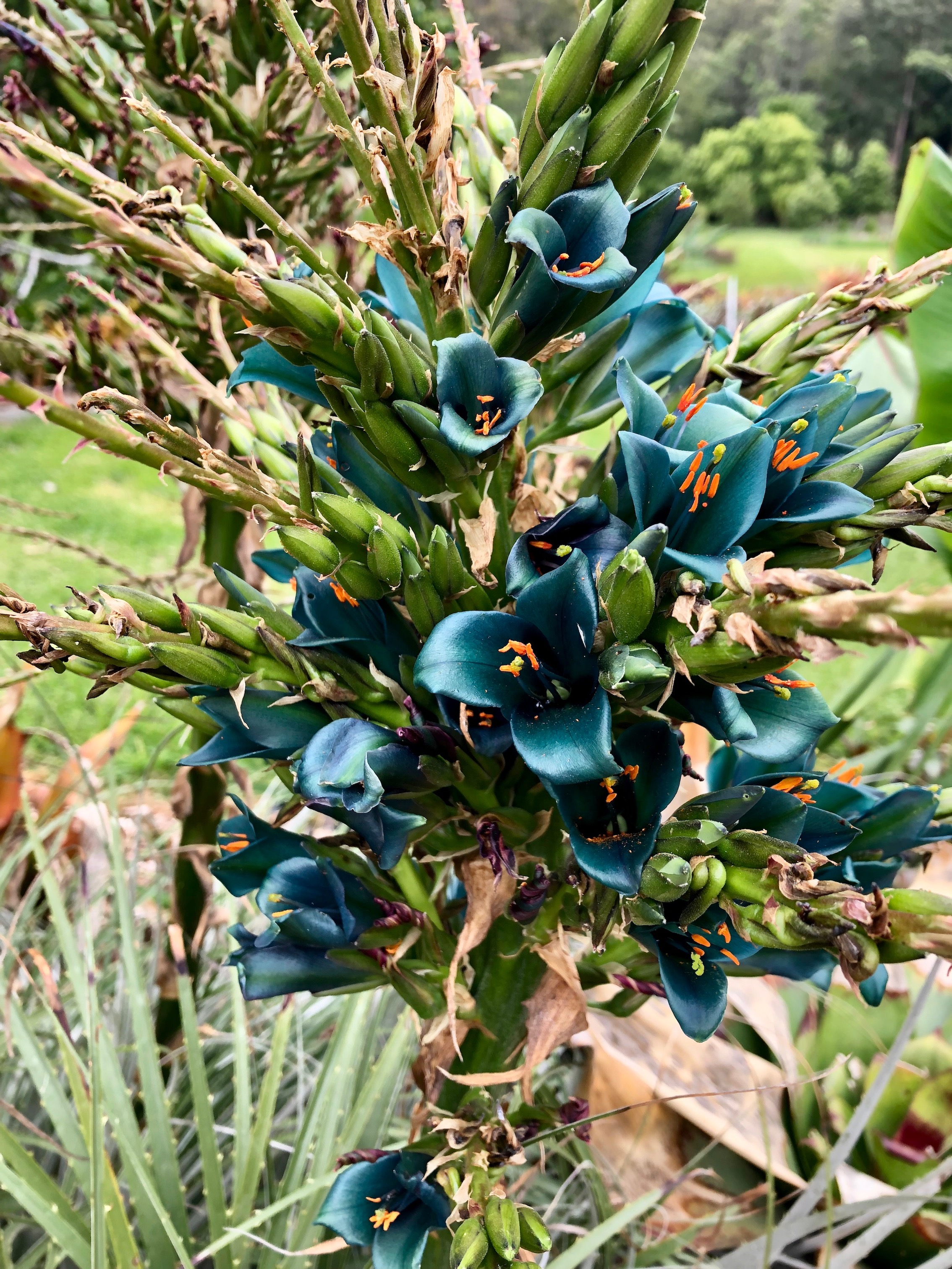 Puya chilensis alluring metallic turquoise flowers