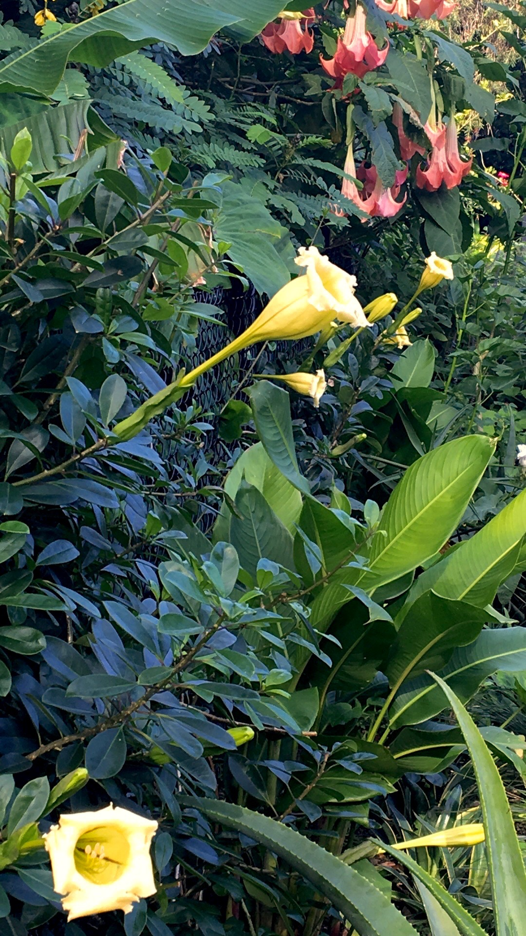 Solandra longiflora a medium weight climber for frost free cool sub-tropics