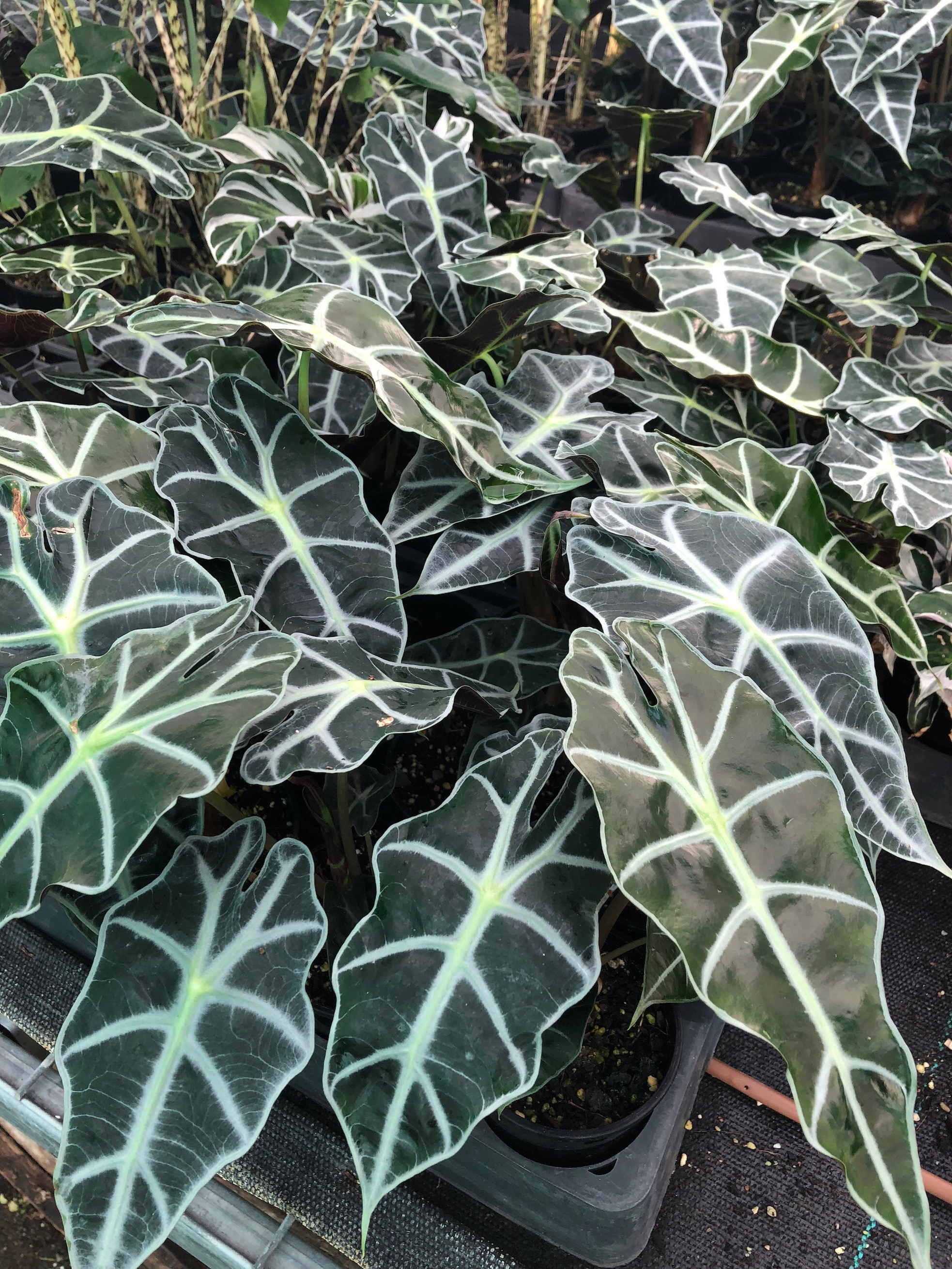 Or a quiet elegance of Alocasia amazonica dwarf