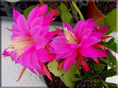 Epiphyllum Crown Prince flower