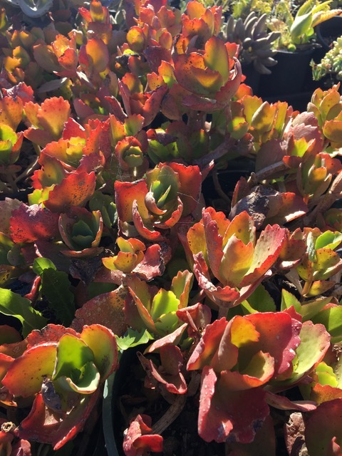 Kalanchoe somaliensis a perky choice for texture rug ground covers