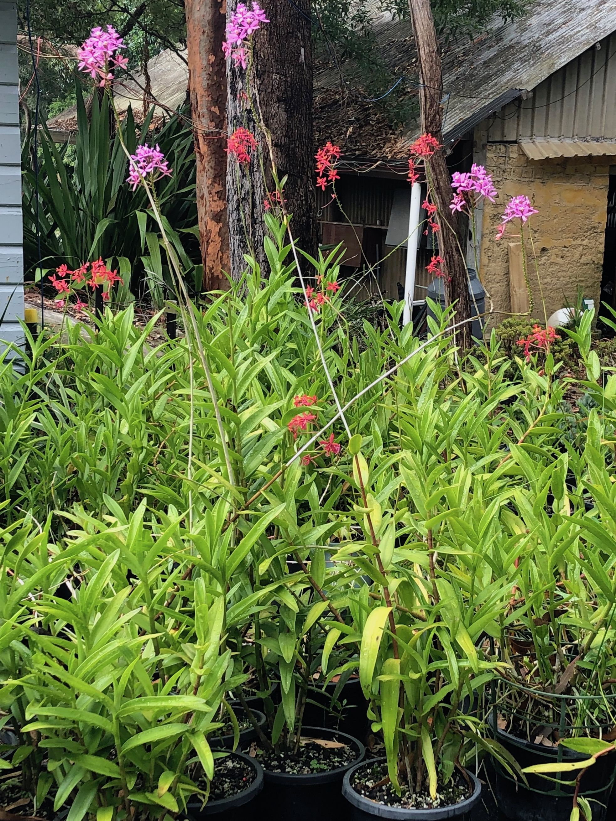Epidendrum hybrids at Cabbage Tree