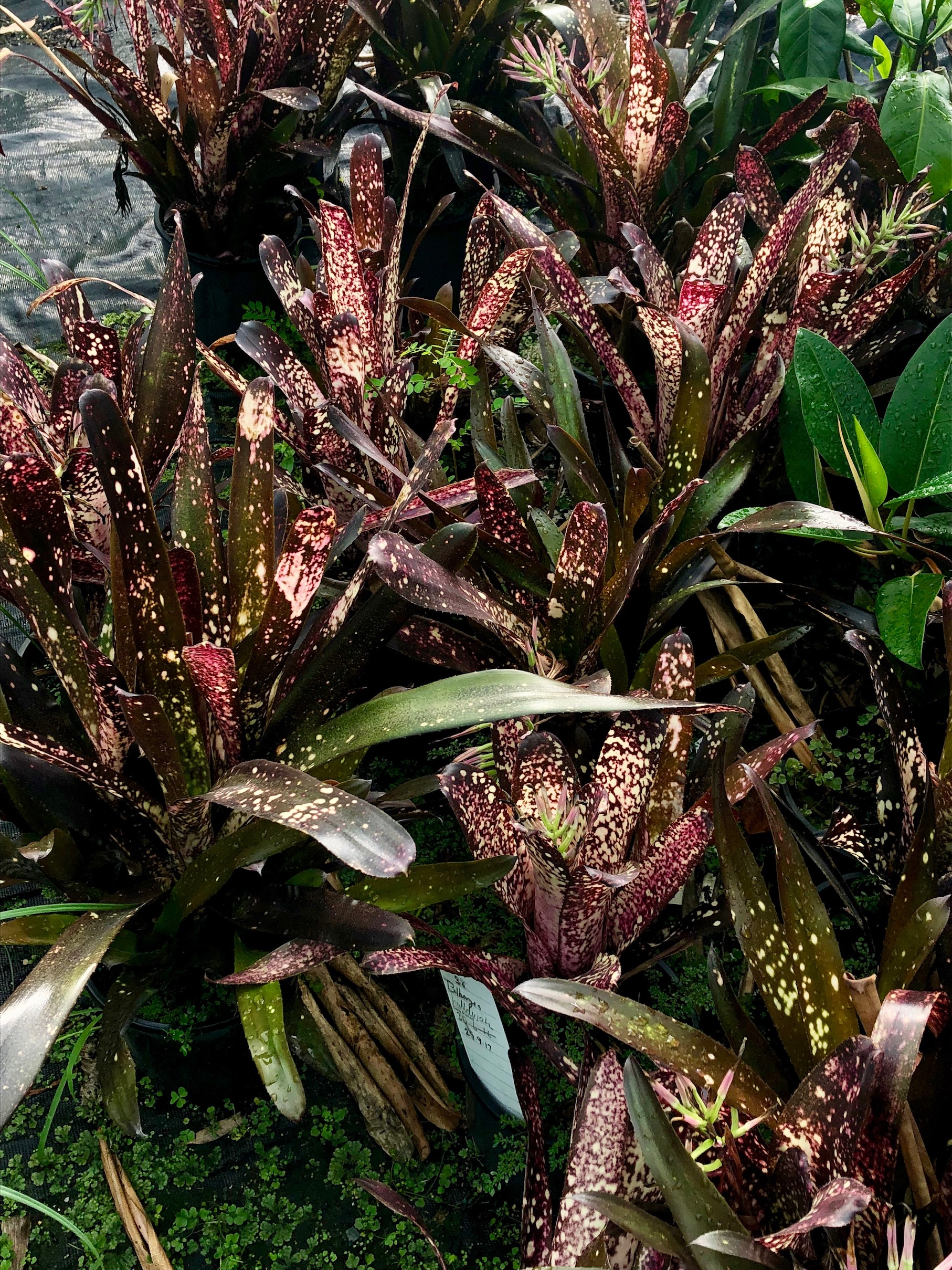 Billbergia ('Domingos Martins X 'Ed MacWilliams') 'Hallelujah'