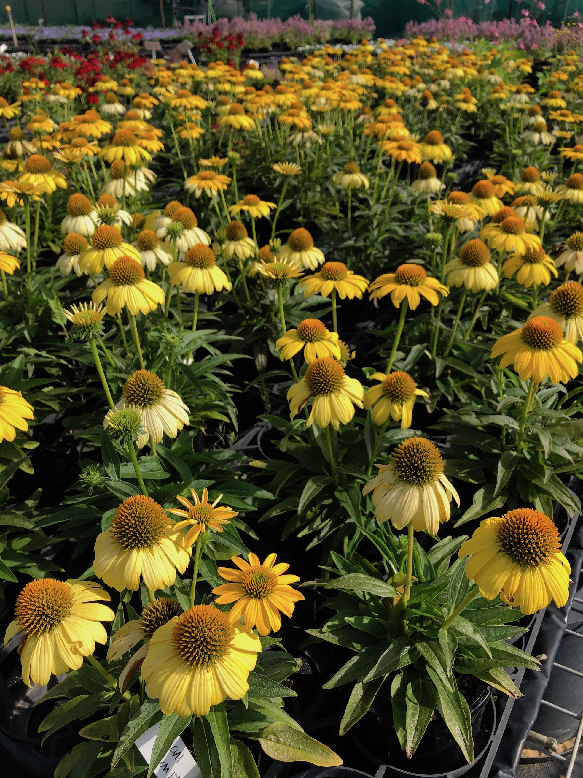 A sunray of Echinacea Sombrero Lemon at Green Gallery